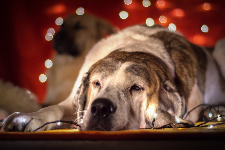The Top 5 Holiday Pet Hazards and How to Avoid Them